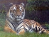 animal-kingdom-tiger-01.jpg