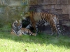 animal-kingdom-tiger-02.jpg