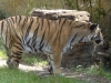 animal-kingdom-tiger-03.jpg
