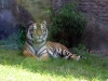 animal-kingdom-tiger-04.jpg