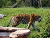 animal-kingdom-tiger-05.jpg