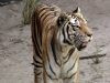 animal-kingdom-tiger-07.jpg