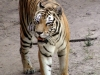 animal-kingdom-tiger-08.jpg